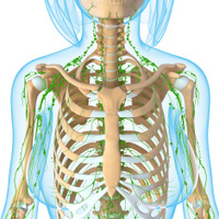 lymphatic system of female with skeleton