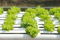 Organic Hydroponic vegetable farm 10