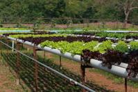 Organic Hydroponic vegetable farm 29