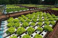 Organic Hydroponic vegetable farm 39