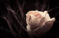 Dying white rose