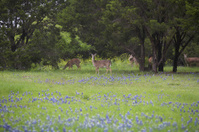 Deer in the bluebonnets