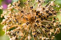 Star shaped seeds