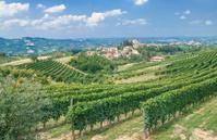 Vineyard Landscape,Piedmont,Italy