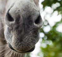 Donkey Snout