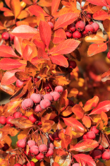 Pacific Crabapple tree (Malus Fusca)