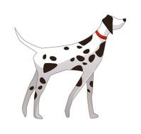 dalmatian is standing