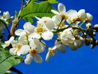 Bird cherry branch