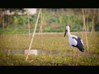 egret bird.