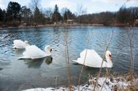 Three Swans on Lake in Ohio