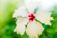 Close up Hibiscus