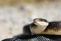 Adult Black Rat Snake