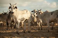 Nelory Cattle
