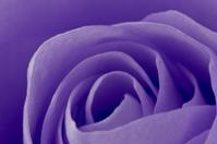 violet rose macro