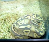 Python ball .