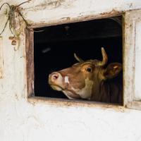 Cow's Barn