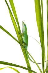 Lizard on the green grass. Caroline or krasnogorly anoles (Anoli
