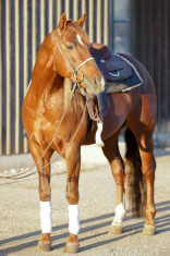 Quarter Horse ready to go