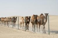 Wild Camel Train