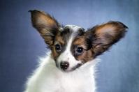 Portrait of a puppy Papillon