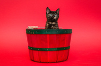 Kitten in a Christmas basket.