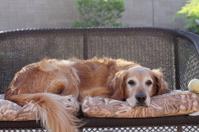 Golden Retriever laying down.
