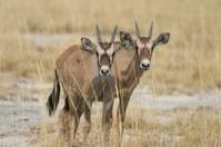 Gemsbok twins