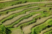 Terraced Rice Fields  - in Bali Indonesia