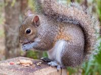 Gray Squirrel Eating a Peanut
