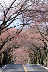 Row of cherry blossom trees in Izu highland, Japan