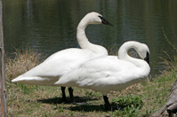 Trumpeter Swans by the lake