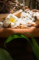 single frangipani flower