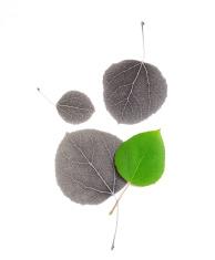 Aspen leaf IR Collage