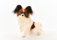 Purebred papillon dog