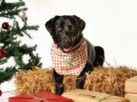 Black labrador in christmas setting
