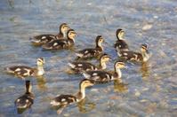 Funny little ducklings