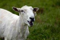 Male sheep (ram)