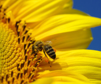 bee in the sunflower