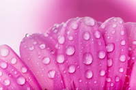 Colored gerber flower