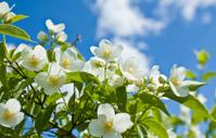 Garden jasmin