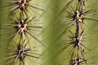 Cactus spines (Close-up, Horiz format)