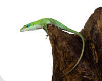 Lizard on  tree stump. Caroline or krasnogorly anoles (Anolis ca