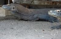 Komodo Dragon, Rinca island - Indonesia