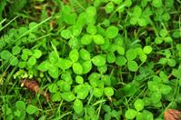 Green clover leaves