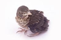 small Blackbird 1 week of life