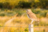 Owl on a Fence