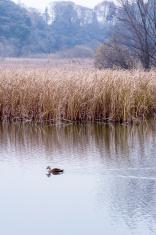 Waterfowl,Japan