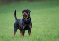 Rottweiler's look