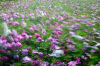 Cosmos bipinnatus  flowers blowing in the wind,