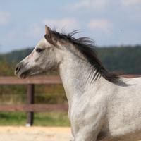 Nice grey stallion with flying mane